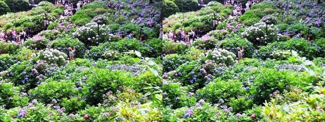 三室戸寺 参道からのアジサイ庭園⑤(平行法)