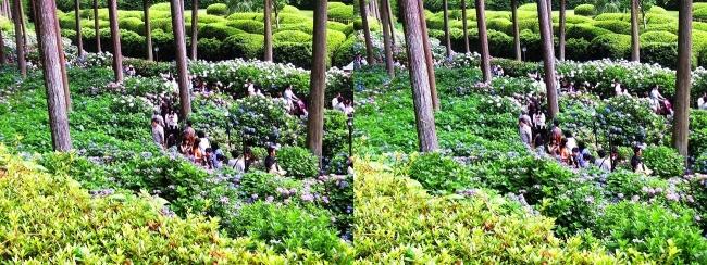 三室戸寺 参道からのアジサイ庭園④(平行法)