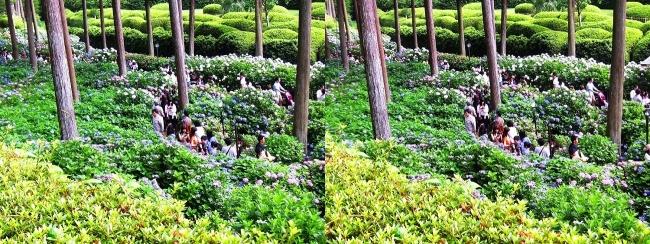 三室戸寺 参道からのアジサイ庭園④(交差法)