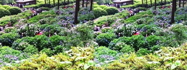 三室戸寺 参道からのアジサイ庭園③(平行法)