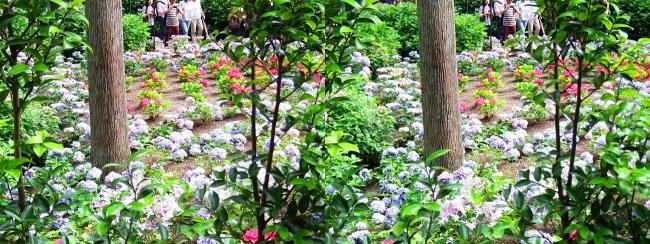 三室戸寺 参道からのアジサイ庭園②(平行法)