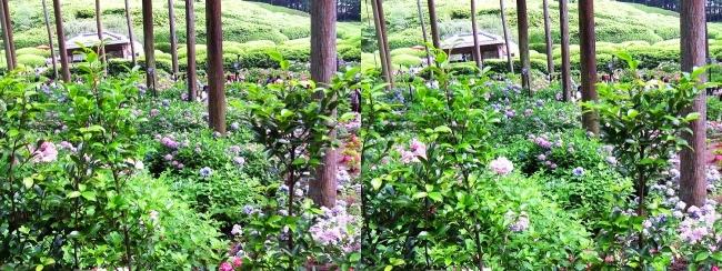 三室戸寺 参道からのアジサイ庭園①(平行法)
