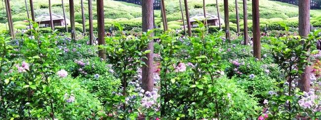 三室戸寺 参道からのアジサイ庭園①(交差法)