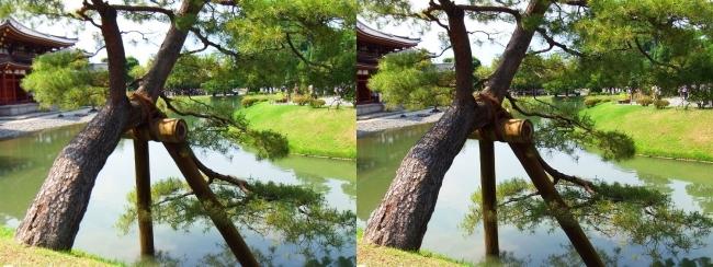 平等院 阿字池 松の木(交差法)