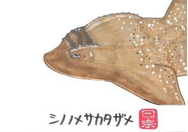 シノノメサカタザメ2