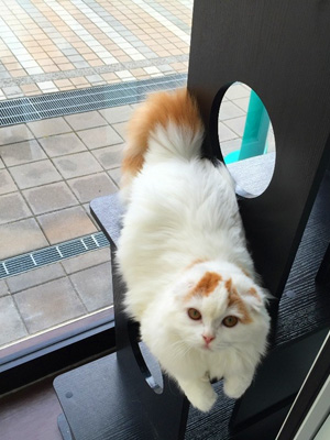 スコ(ロングヘア)の子猫ちゃん