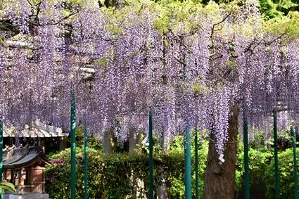 住吉神社の藤