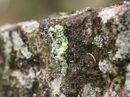 コヤガ幼虫1