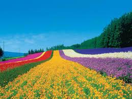 美瑛のラベンダー畑
