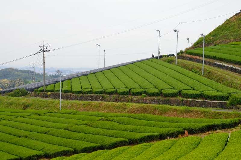 八女中央大茶園 (6)