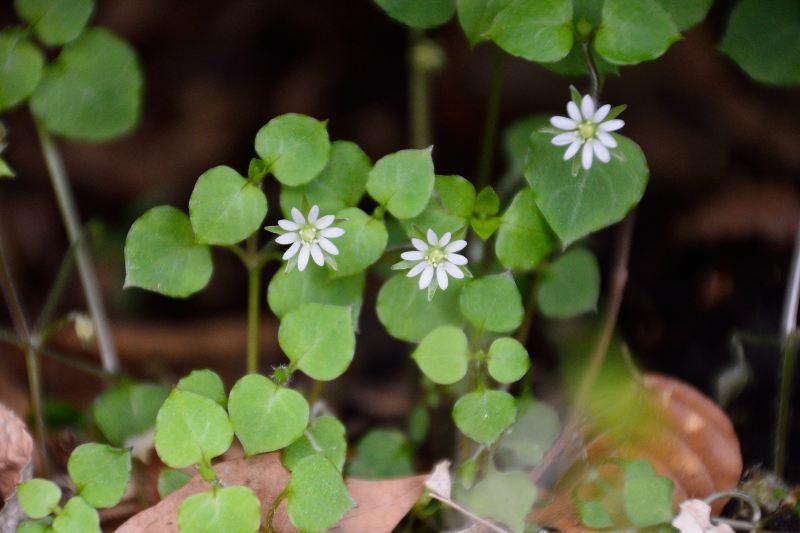 英彦山の花 (5)