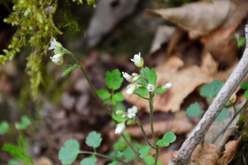 英彦山の花 (6)