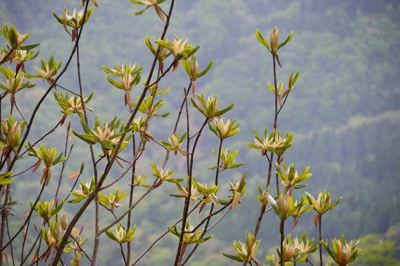 英彦山の花 (4)