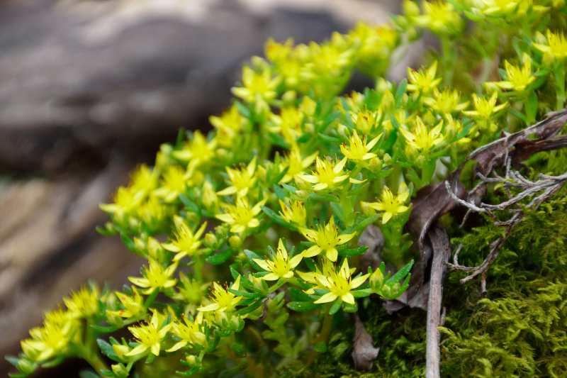 英彦山の花 (7)
