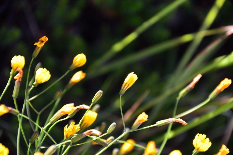 北アルプスの花 (6)