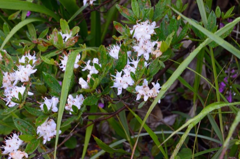 北アルプスの花 (3)