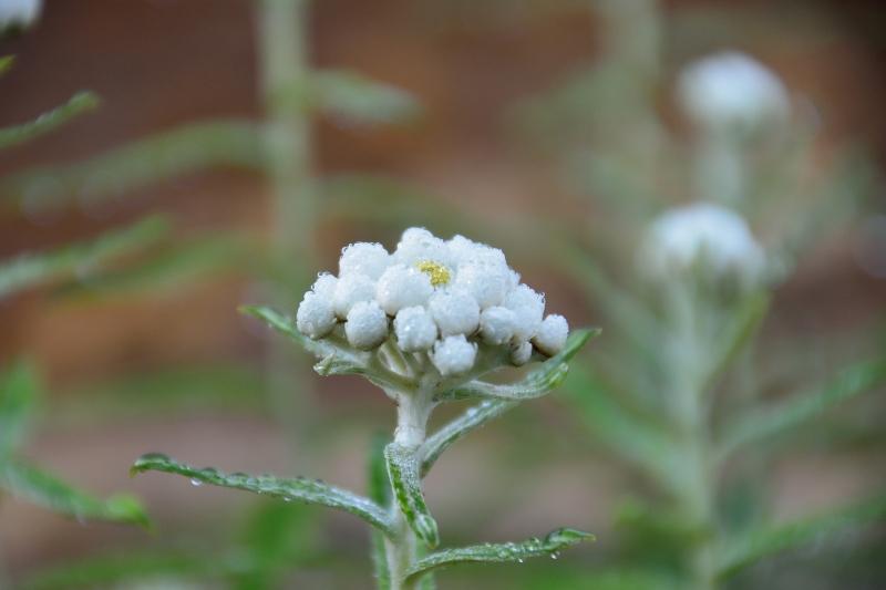 北アルプスの花 (1)