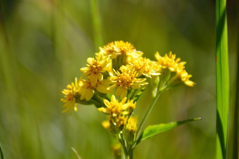 北アルプスの花 (7)