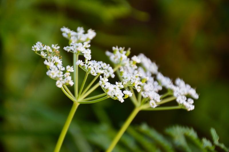 北アルプスの花 (17)