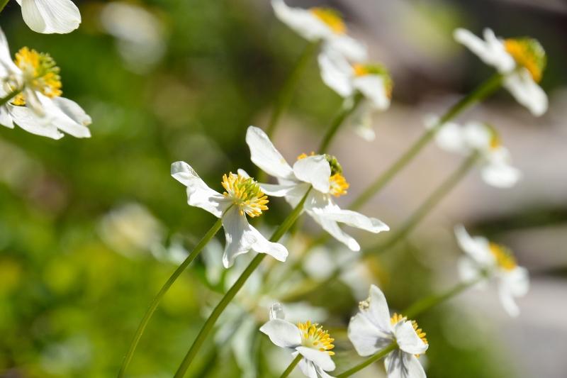 北アルプスの花 (18)