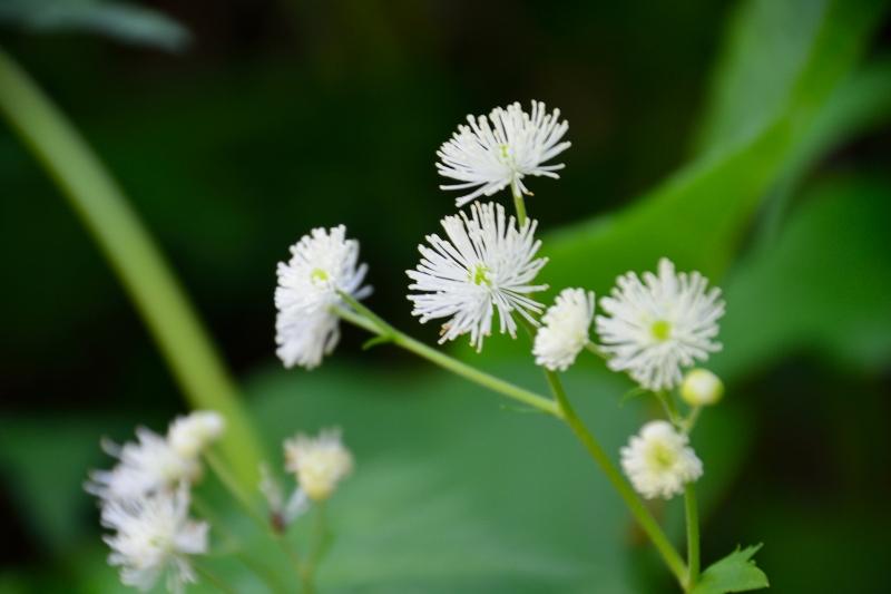 北アルプスの花 (16)