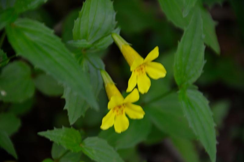 北アルプスの花 (15)
