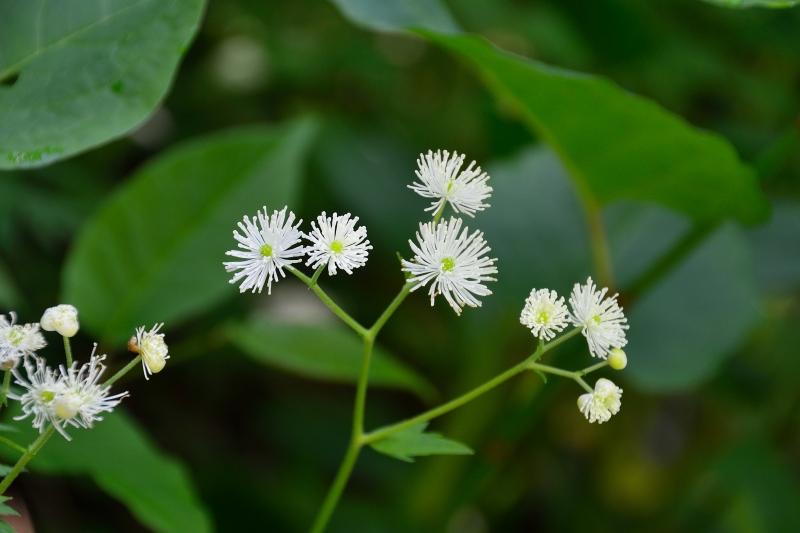 北アルプスの花 (14)