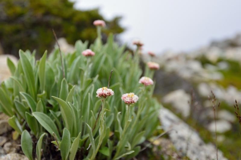 北アルプスの花 (23)