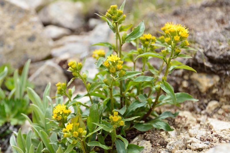 北アルプスの花 (24)