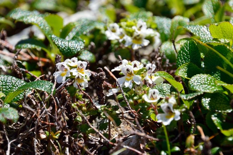 北アルプスの花 (22)