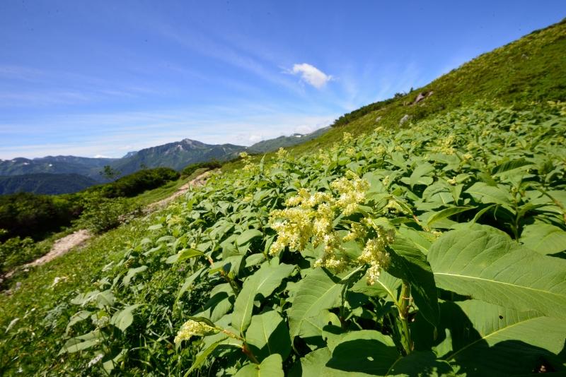 北アルプスの花 (21)