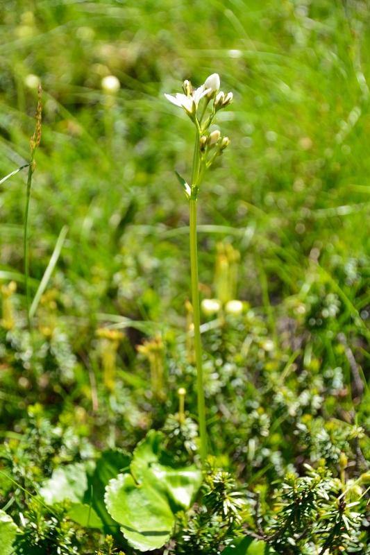 北アルプスの花 (20)