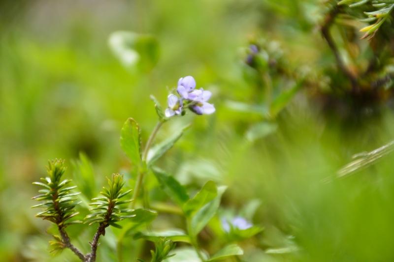 北アルプスの花 (30)