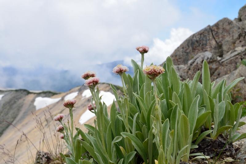 北アルプスの花 (27)