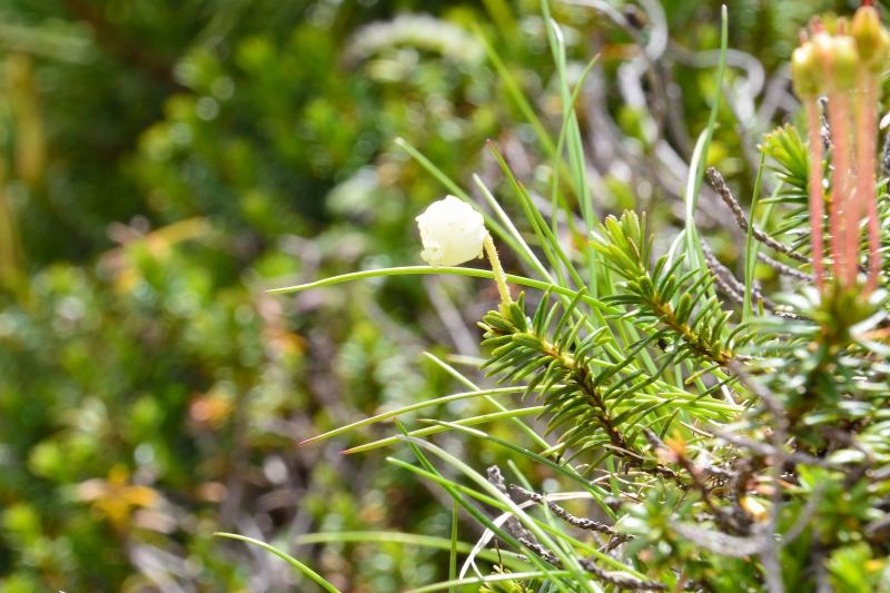 北アルプスの花 (29)