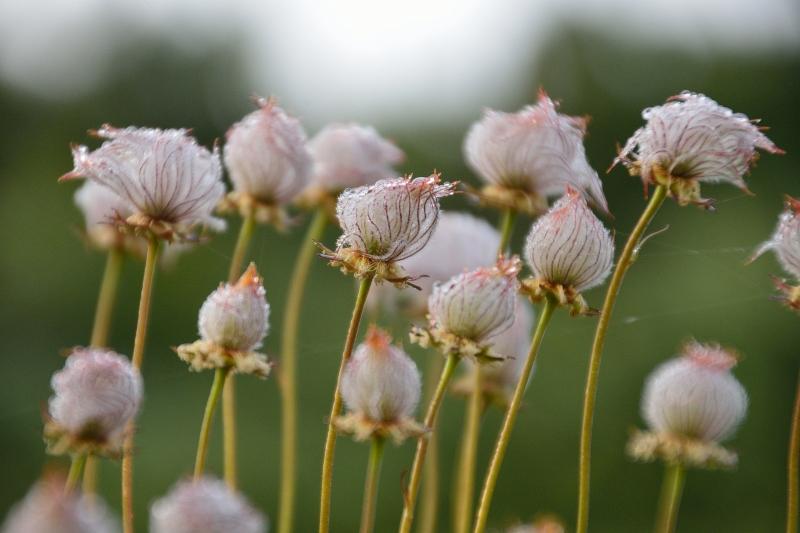 北アルプスの花 (36)