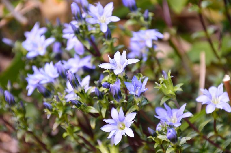 北アルプスの花 (33)
