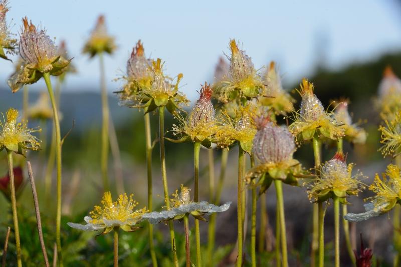 北アルプスの花 (42)