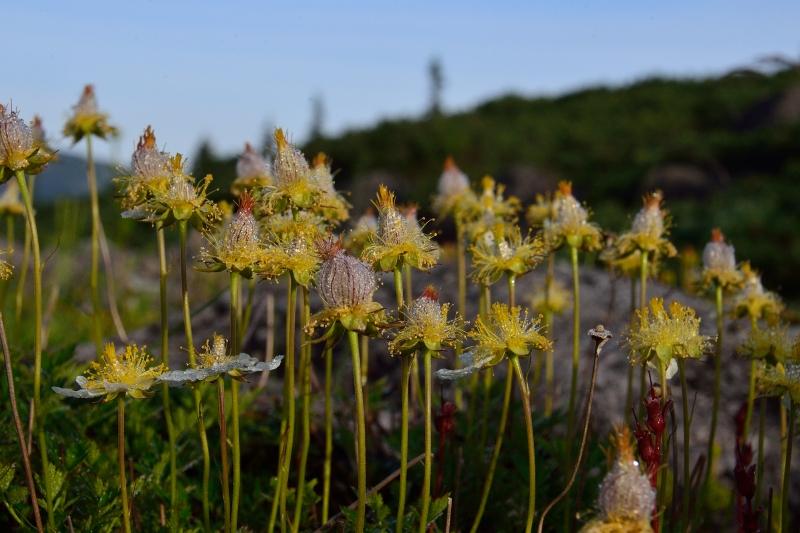 北アルプスの花 (41)