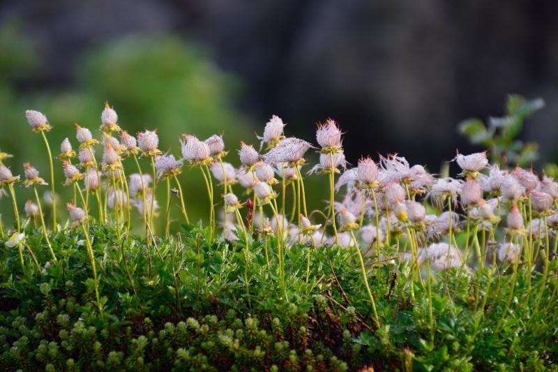 北アルプスの花 (40)