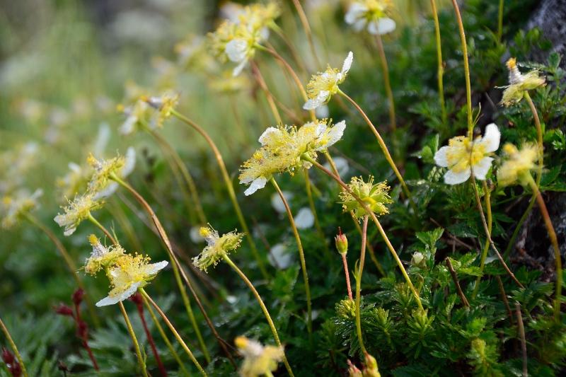 北アルプスの花 (39)