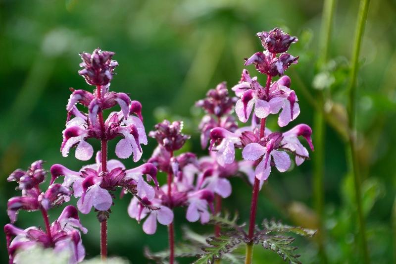 北アルプスの花 (38)