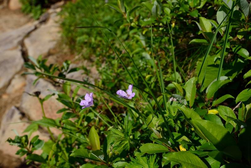北アルプスの花 (47)