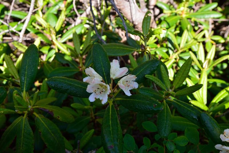 北アルプスの花 (48)
