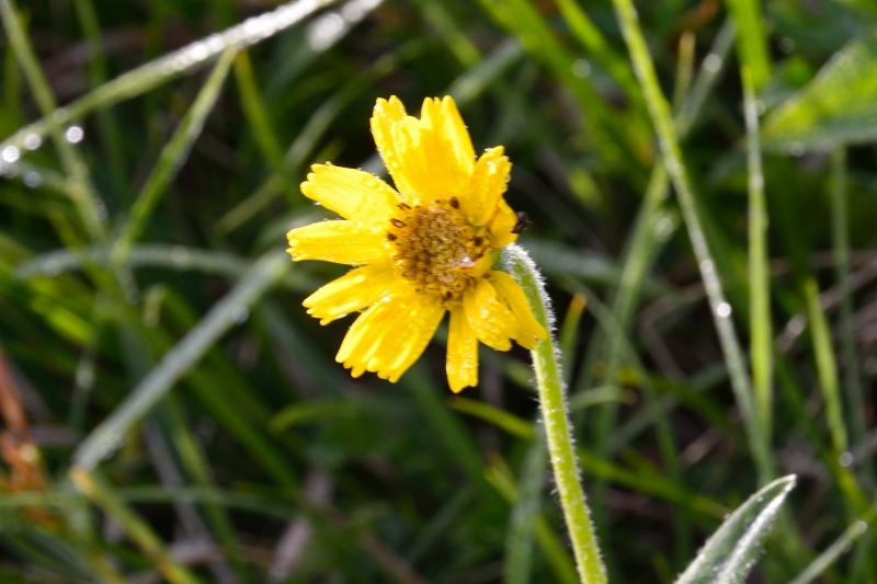 北アルプスの花 (43)