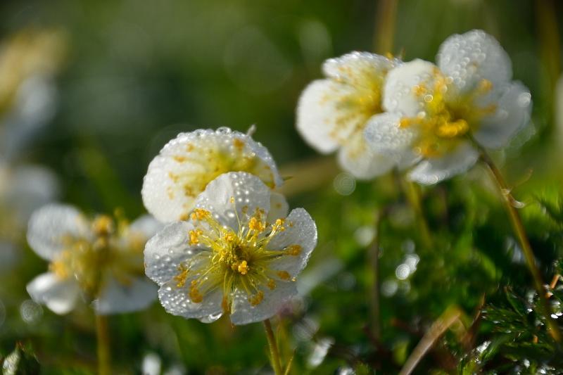 北アルプスの花 (45)