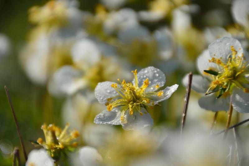 北アルプスの花 (44)