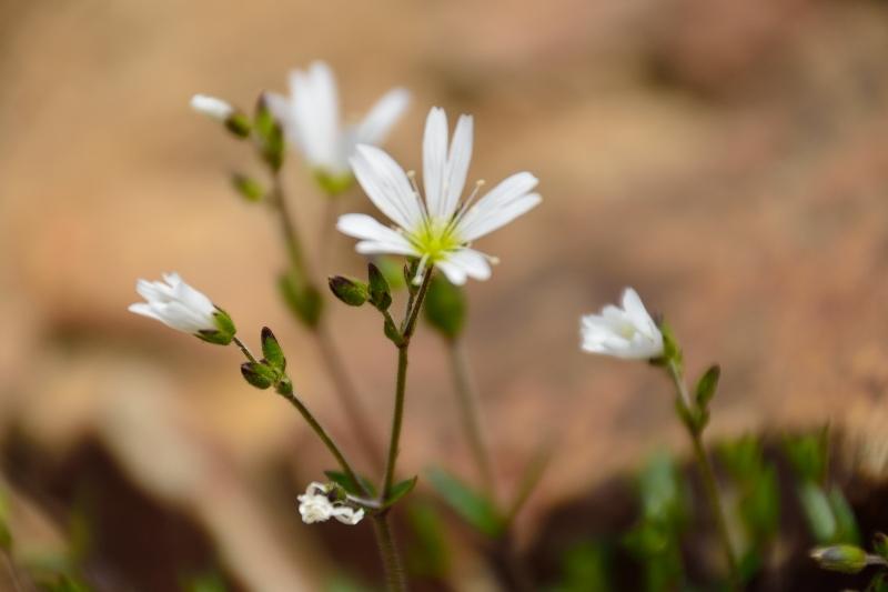 北アルプスの花 (53)