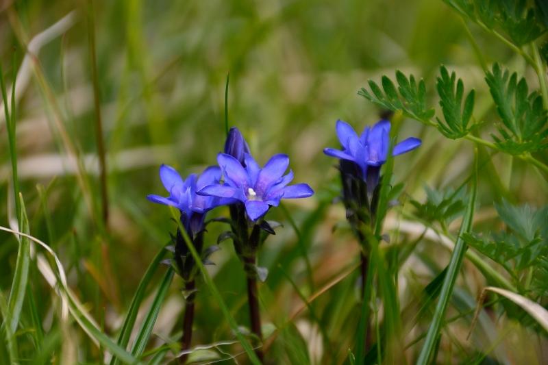 北アルプスの花 (54)