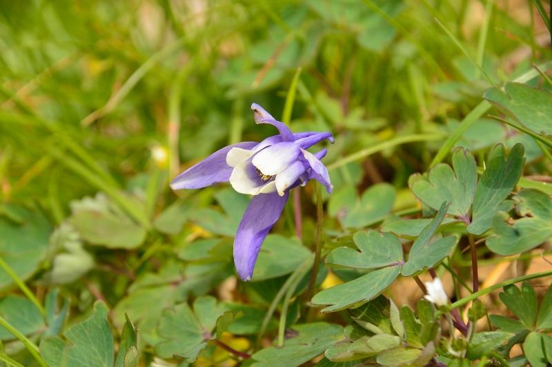 北アルプスの花 (51)